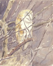 Barn Owl roosting in Willow